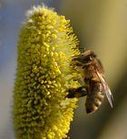 Hausbiene