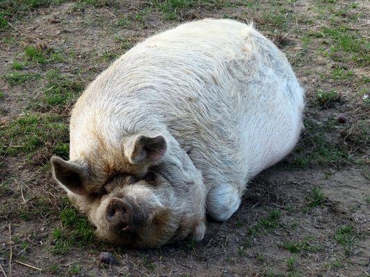 Hauschwein