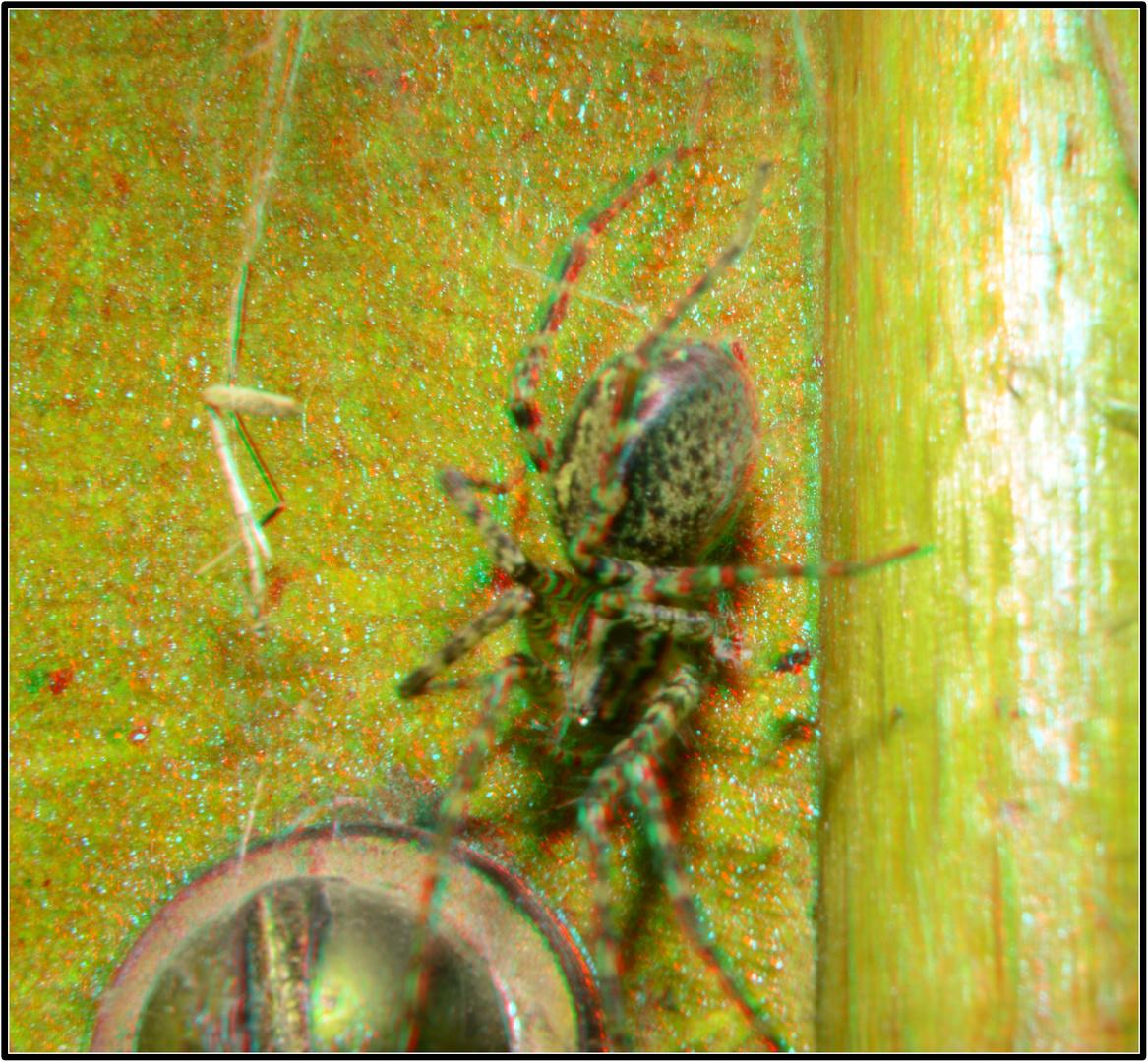 Haus(Freund)Spinne
