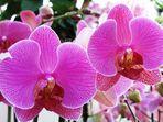 Hausorchideen