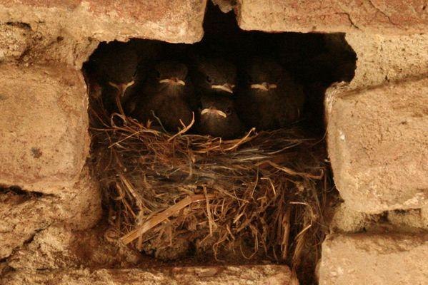 Hausrotschwanz Jungvögel