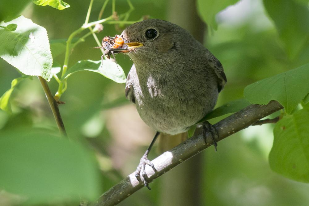Hausrotschwanz mit Futter für die Nestlinge