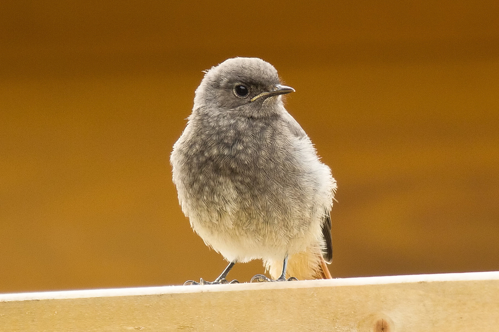 Hausrotschwanz (Phoenicurus ochruros) Jungvogel