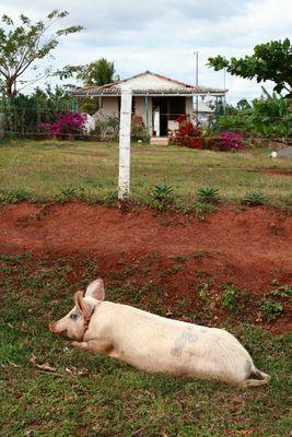 Hausschwein in der SOnne