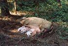 Hausschweine im Freiland bauen einen Wurfkessel