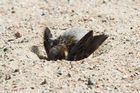 Haussperling (Passer domesticus), sand-badend
