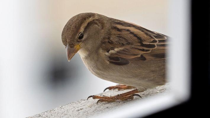 Haussperling - Vogel des Jahres 2015 des SVS/BirdLife Schweiz