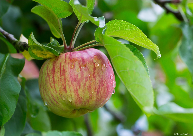 Haux Apfel