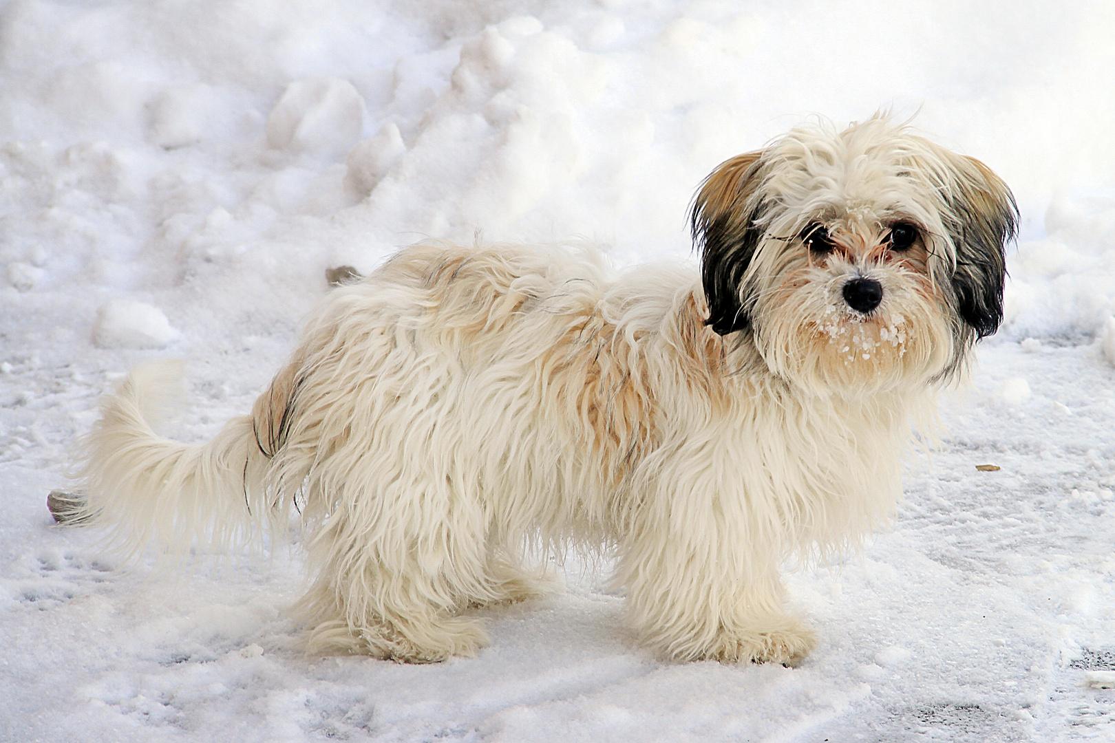Havaneser im Schnee