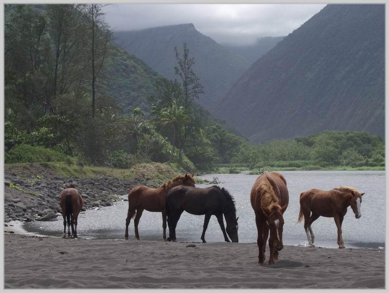 Hawaii, Big Island- Wildpferde im Waipi'o Valley