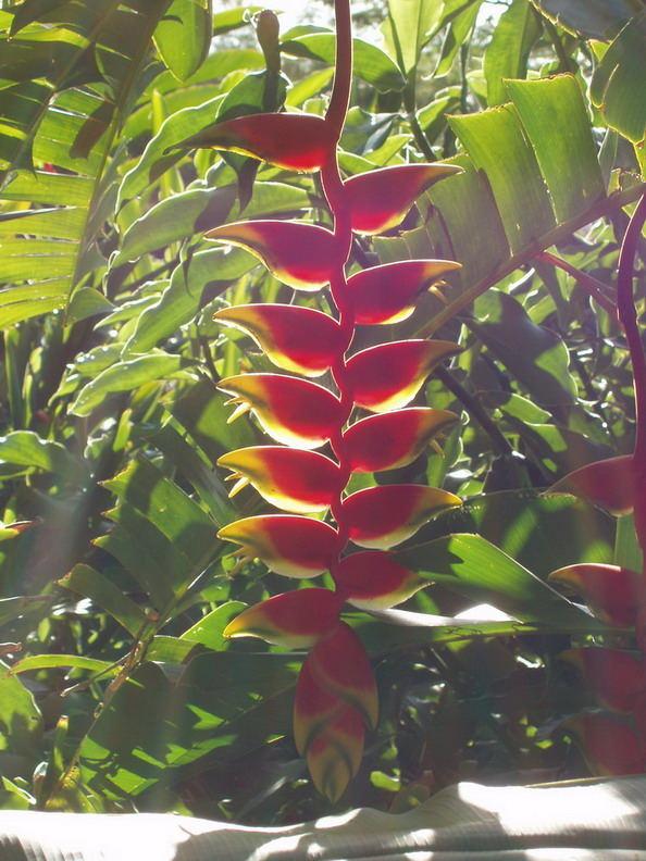 Hawaii-Blume