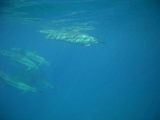 Hawaii Dolphin's