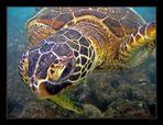 Hawaiian Green Sea Turtle # 2
