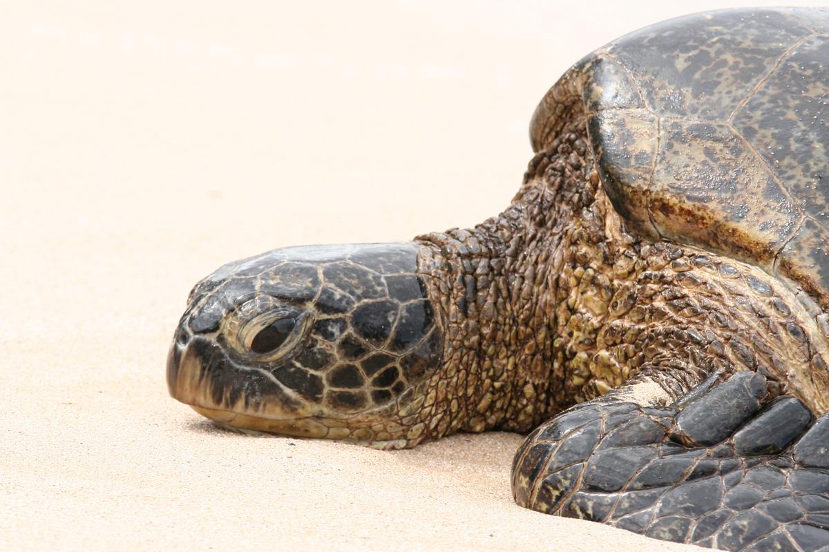 Hawaiian green turtles - 02