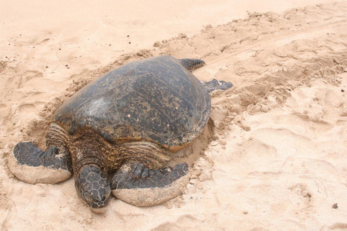 Hawaiian green turtles - 03