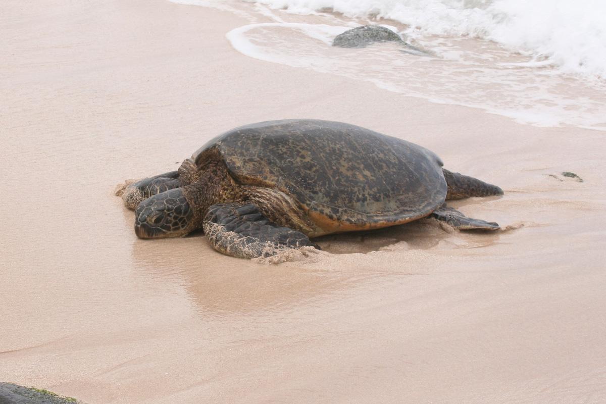 Hawaiian green turtles - 05