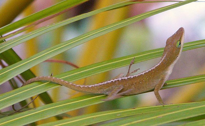 Hawaiin Gecko
