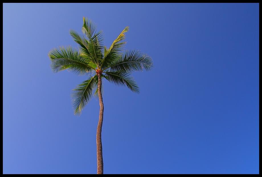 Hawaii´s einzigste Palme