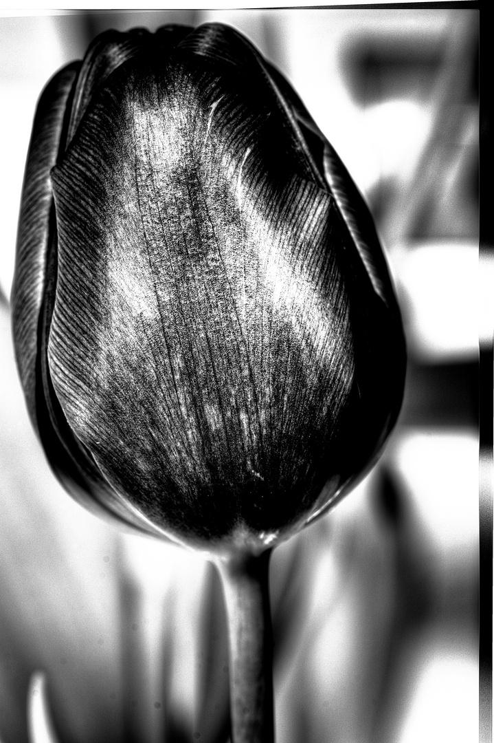 HDR black tulip