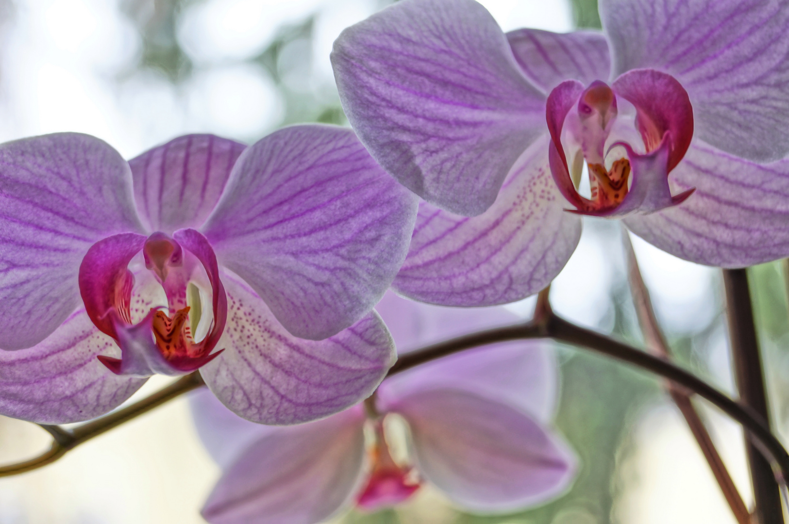 HDR-Orchidee