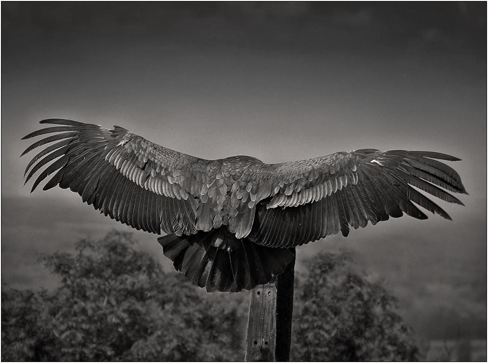 Headless Wingspan