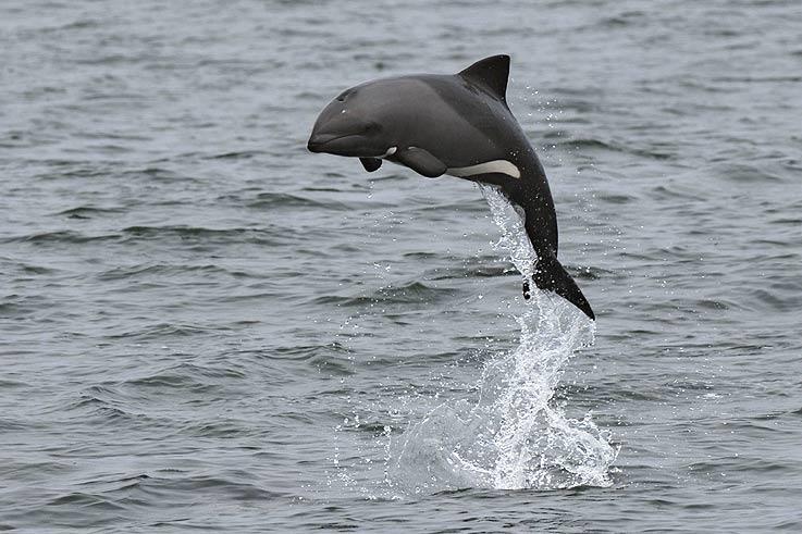 Heaviside's dolphin, South African dolphin, Benguela dolphin