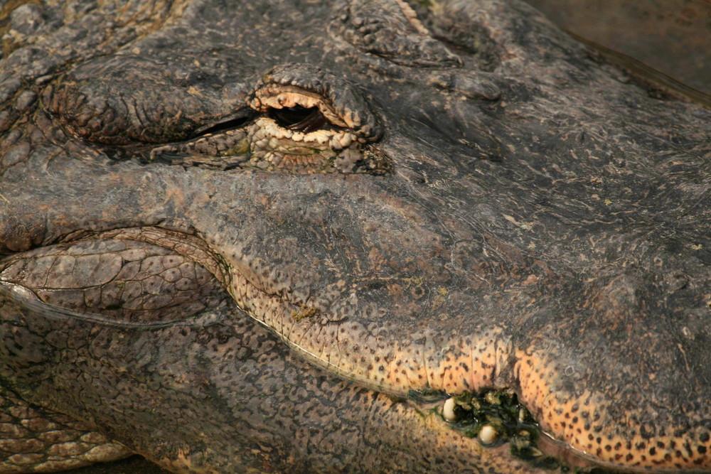 Hechtalligator ; Alligator_mississippiensis