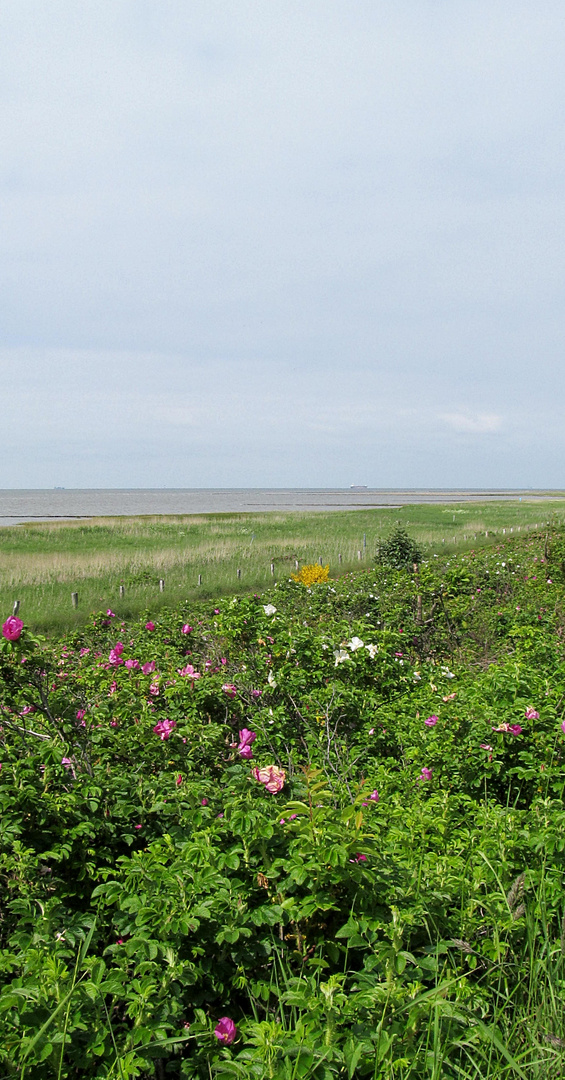 Heckenrosen in Cuxhaven - Sahlenburg am Meer