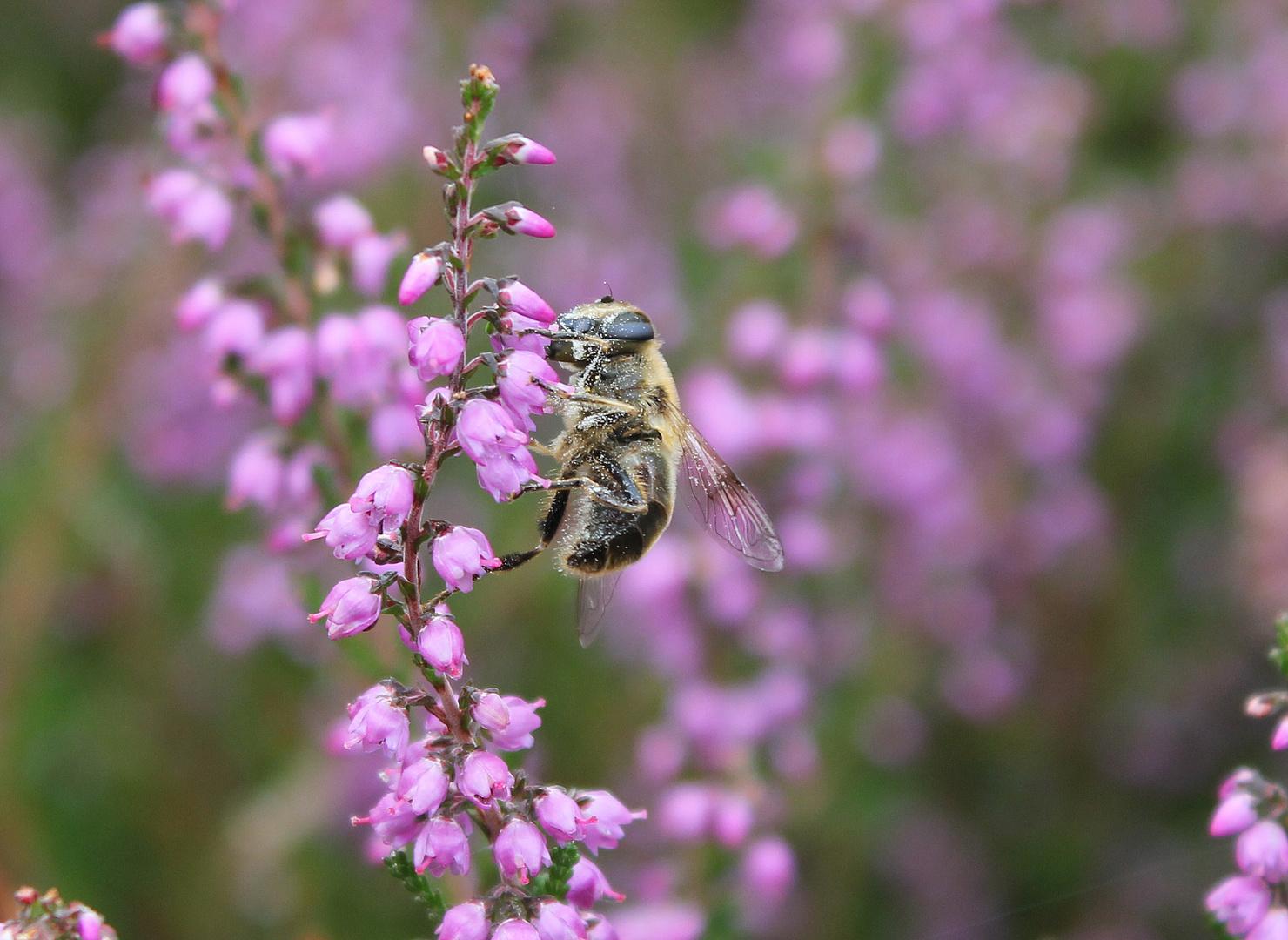 Heide-Biene