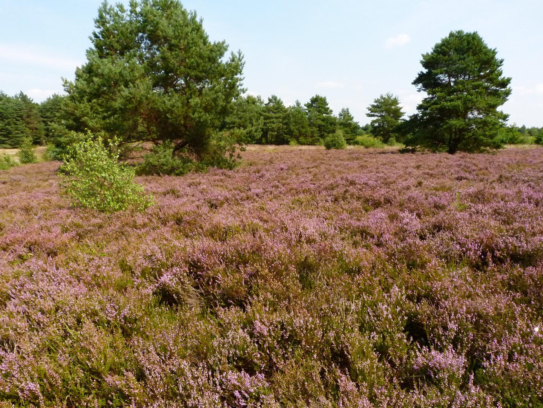 Heide im Naturpark Steinhuder Meer!