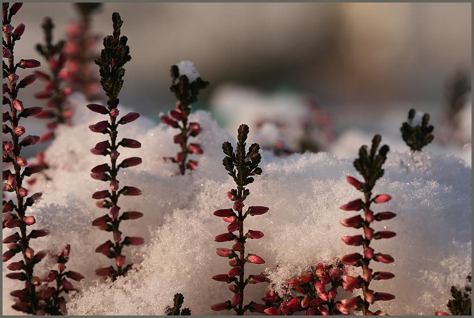 Heide im Schneemantel !
