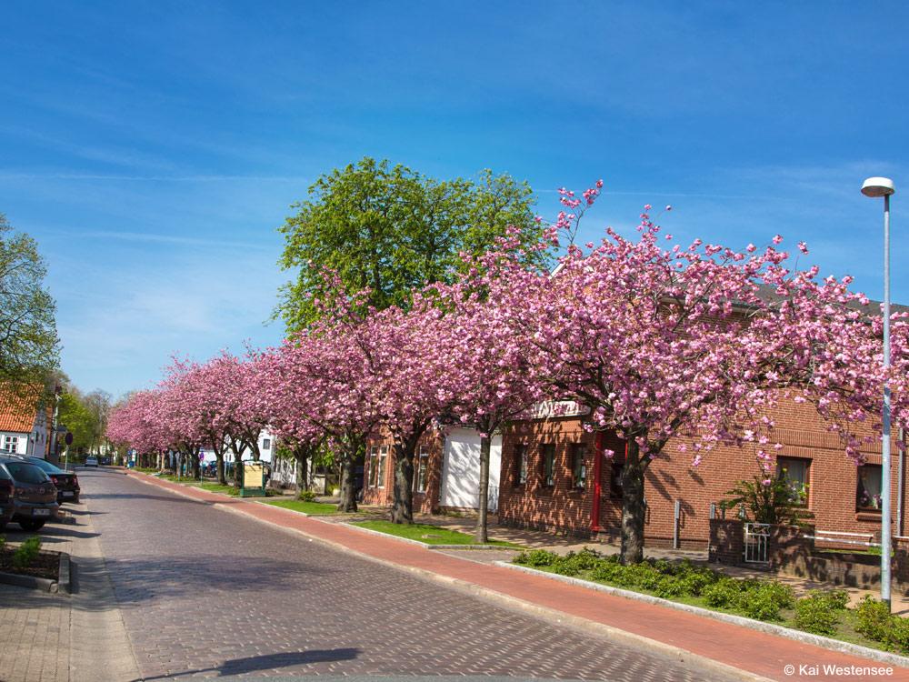 Heide - Kirschblüte