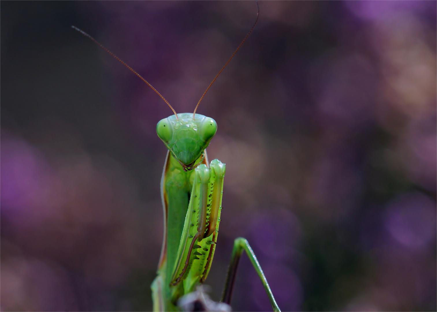 """Heidealien"" - Gottesanbeterin, Mantis religiosa"