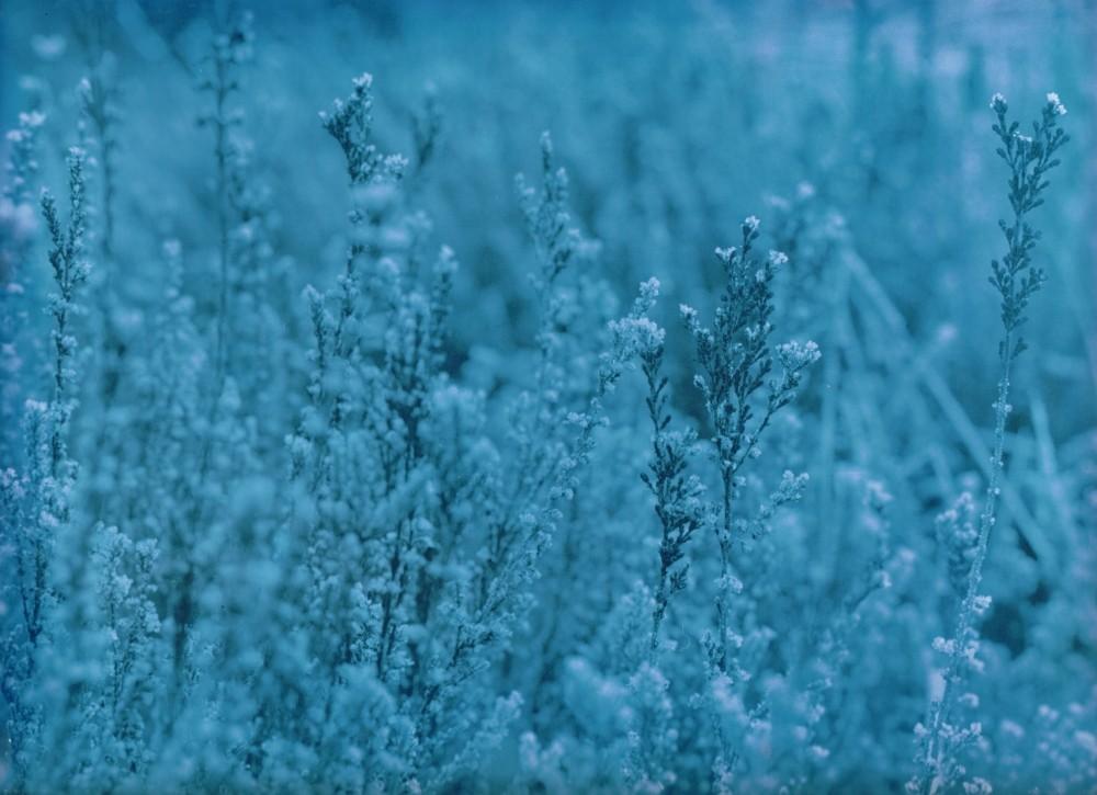 Heidekraut im Sauerland bei Frost