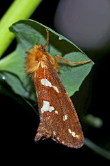Heidekraut-Wurzelbohrer (Phymatopus hecta) - L'Hépatique.
