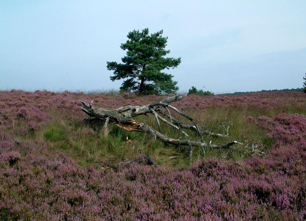heidelandschaft in den niederlanden in der nähe von putten.
