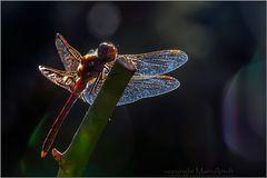 Heidelibelle im Licht