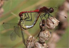 Heidelibellen-Paar(ung)