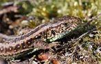 """Heidesaurier""  Zauneidechse - Lacerta agilis -"