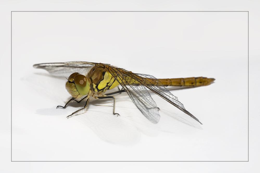 Heidi, the friendly dragonfly