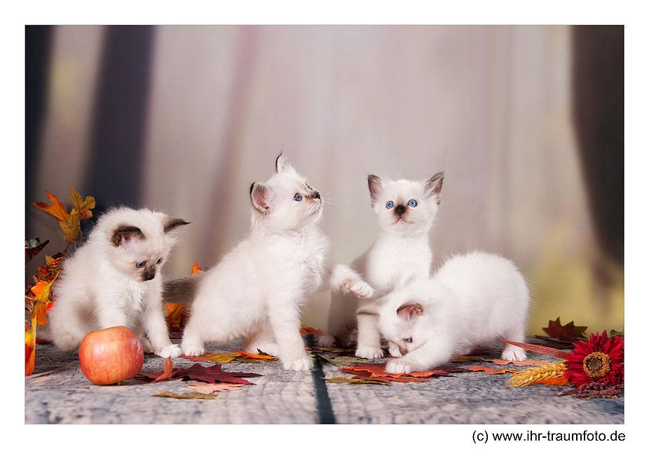 Heilige Birma von Remmiz alle Vier Kitten