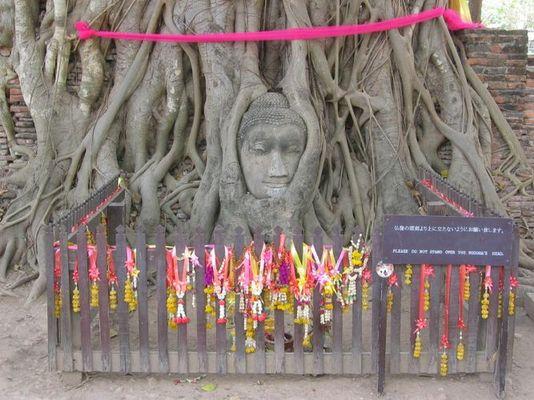 Heiliger Baum in Ayutthaya