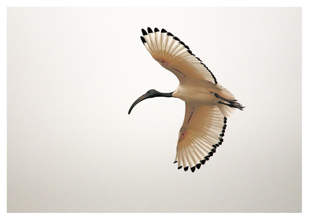 Heiliger Ibis in der Camargue