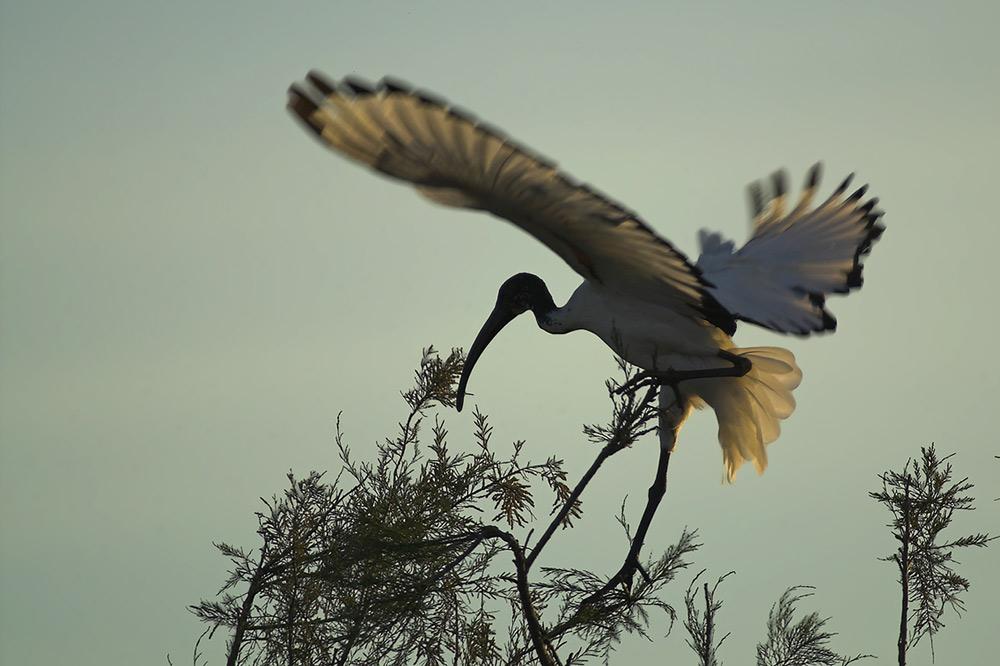 Heiliger (Ibis) mit Landeproblemen