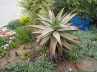 Heilpflanze Aloe Verox (Südafrika)