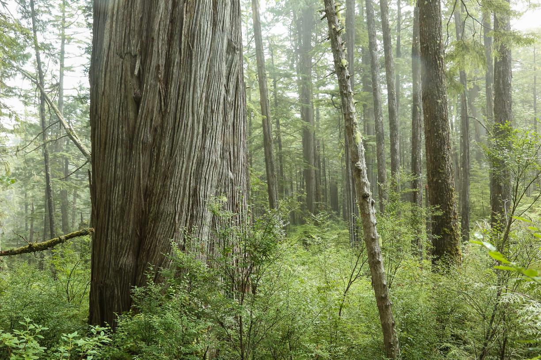 Heimat des kleinen Weisskopfseeadlers - der Riesenlebensbaum