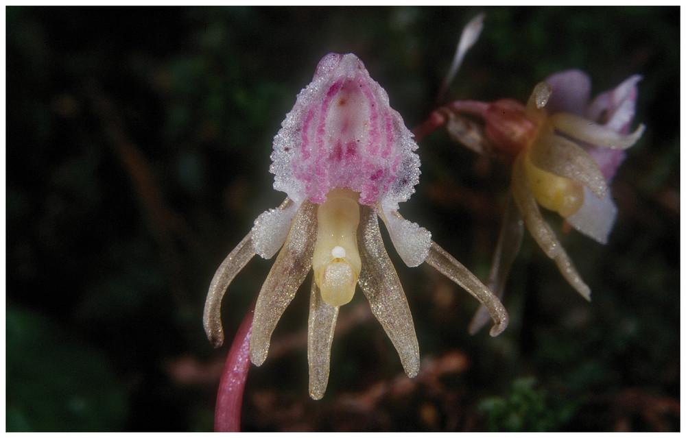 Heimische Orchidee (Epipogium aphyllum)