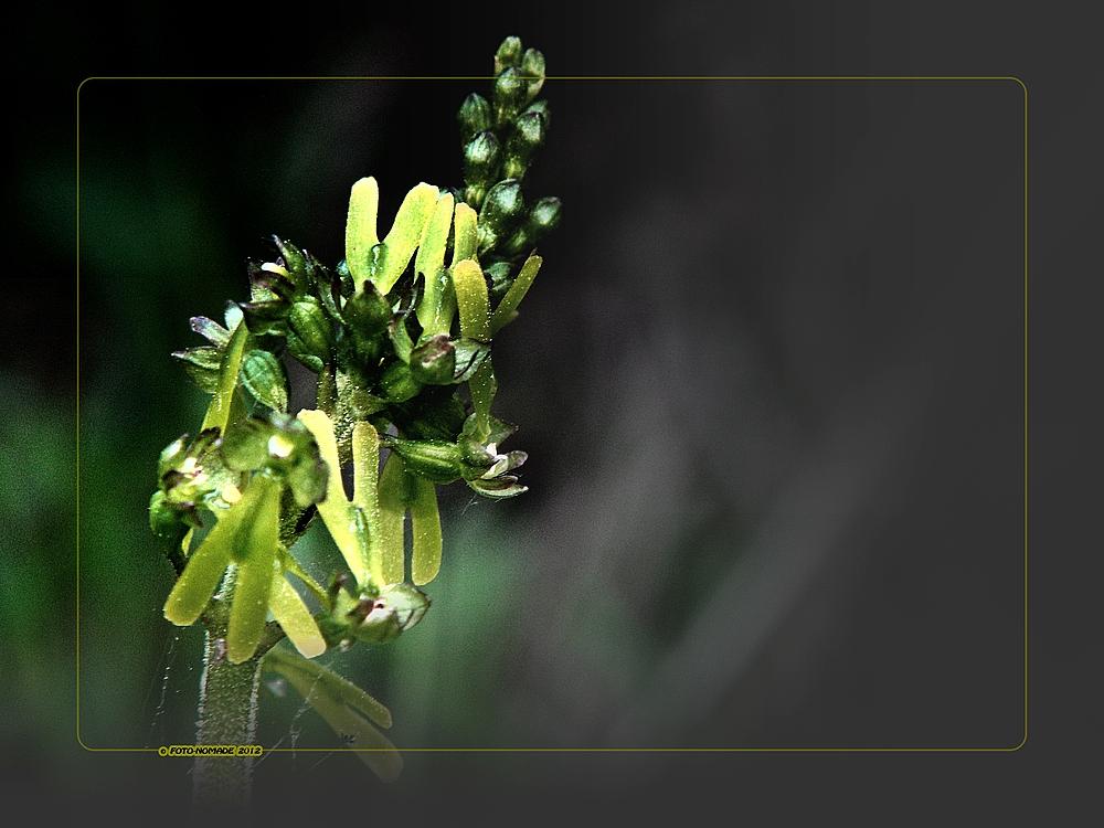Heimische Orchidee  (Listera ovata (L.) R. Br.)  ..