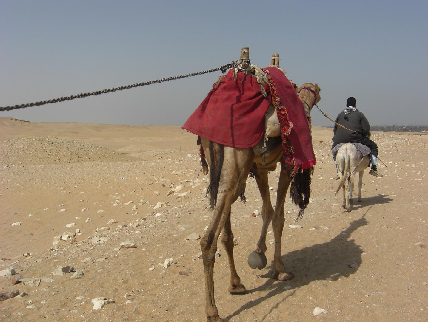 Heimwärts (Kamele in Saqqara)