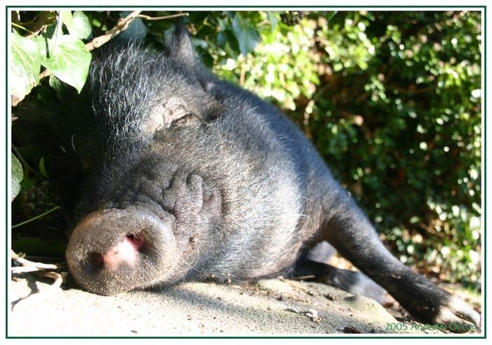Heinrich, unser Schwein. Geiles Wetter oder?